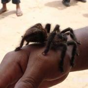 p07_tarantula